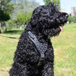 Black russian Terrier Harness with Magnificent Spikes