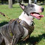 Superb Studded Leather Bull Terrier Harness