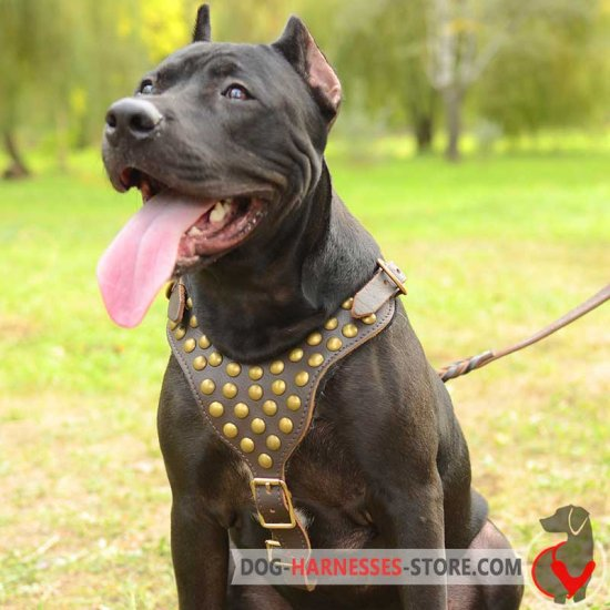 Studded Walking American Pitbull Terrier Harness