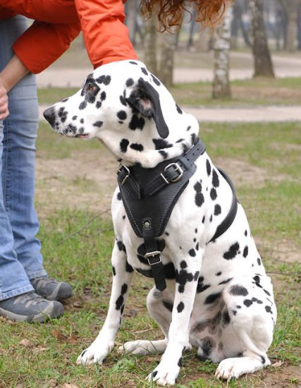 Leather Dalmatian Harness with Padded Chest Plate