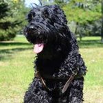 Black Russian Terrier Leather Harness for Tracking/Pulling