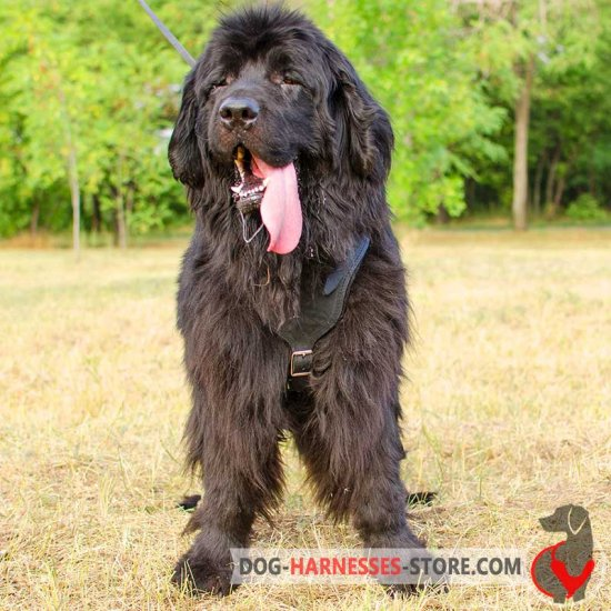 Newfoundland Leather Dog Harness for Attack/Protection Training