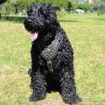 Royal Black Russian Terrier Harness with Exclusive Design