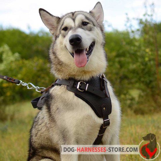 Alaskan Malamute Harness for Walking and Training