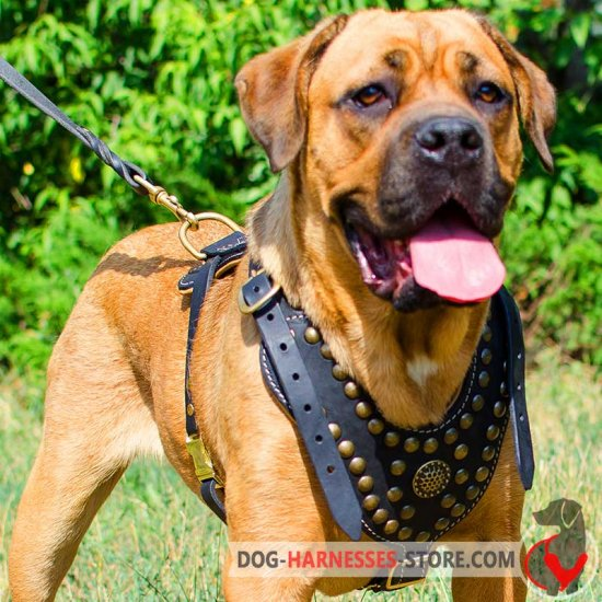 Exclusive Design Studded Leather Cane Corso Harness