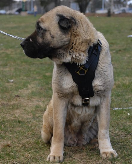 Anatolian Shepherd Padded Leather Dog Harness
