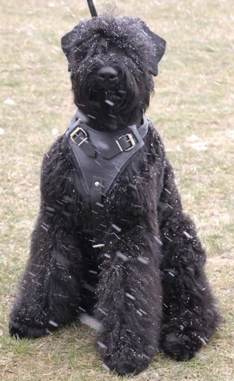 Leather Black Russian Terrier Harness with Quick Release Buckle