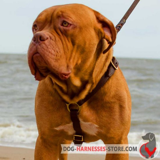 Handcrafted Dogue de Bordeaux Harness for Training
