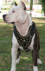 Royal Staffordshire Terrier Harness for Tracking and Walking