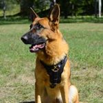Exclusive Luxury Handcrafted Padded Leather German Shepherd Harness