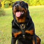 Rottweiler Harness for Walking, Training and Tracking