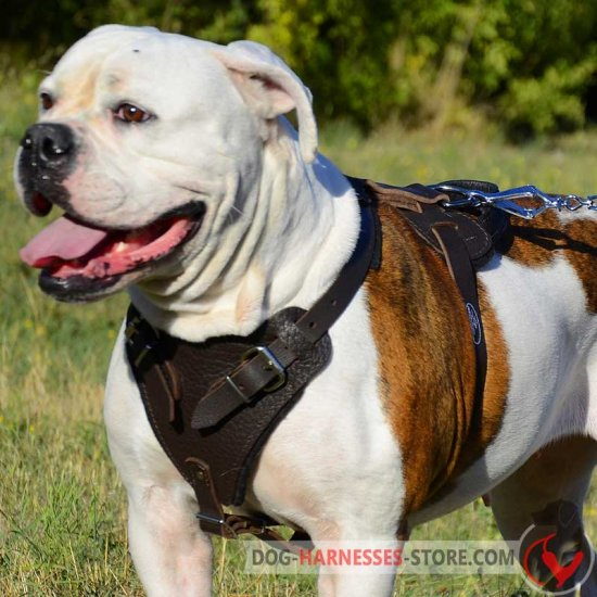 Agitation/Protection Leather American Bulldog Harness for Training