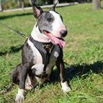 Tracking/Walking Leather English Bull Terrier Harness