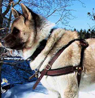 Akita Pulling/Tracking Leather Dog Harness-Husky harness