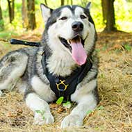 Alaskan Malamute Exclusive Leather Dog Harness