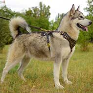 Studded Walking Alaskan Malamute Harness