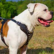American Bulldog Studded Leather Dog Harness With Pyramids