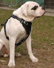 Agitation/Protection Leather Dog Harness- American Bulldog