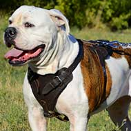 American Bulldog Agitation/Protection Leather Dog Harness