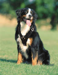 Bernese Mountain dog Handcrafted Leather Dog Harness