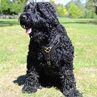 Black Russian Terrier Leather Harness with Padded Chest Plate