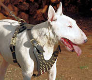 Bull Terrier leather dog harness with brass spikes