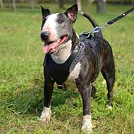 Strong Leather English Bull Terrier Harness for Attack/Agitation Work