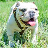 Handcrafted English Bulldog harness for any Dog Activities