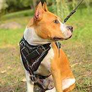 Leather Hand Painted Amstaff Harness