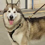 Siberian Husky Tracking/Walking Leather Dog Harness