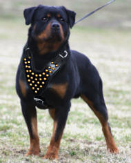 Rottweiler leather dog harness