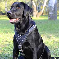 Designer Leather Labrador Retriever Harness for Daily Walking