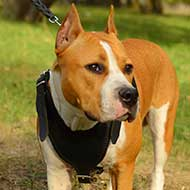 Attack/Agitation Work Leather Amstaff Harness