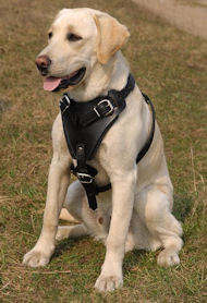 Labrador retriever leather dog harness