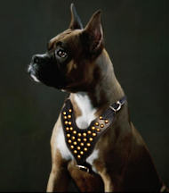 dog harness for boxer
