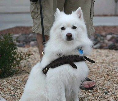 Functional American Eskimo leather harness