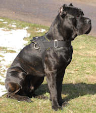 Extra Lightweight Nylon Cane Corso Harness for Tracking/Pulling