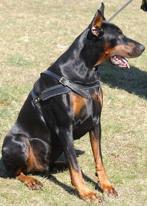 Doberman harness with side D-rings