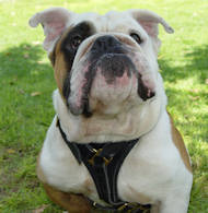 english bull dog dog harness