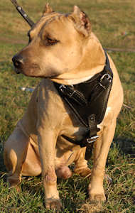 leather dog harness for amstaff