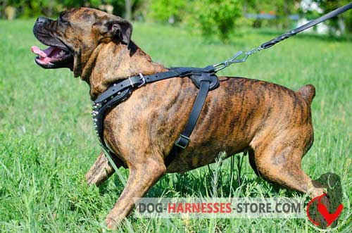 Leather Boxer Harness easy to adjust