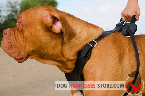 Comfy Dogue de Bordeaux harness for off leash training