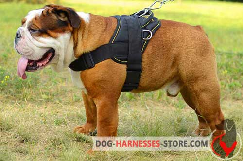 Adjustable English Bulldog Harness for Walking and Training