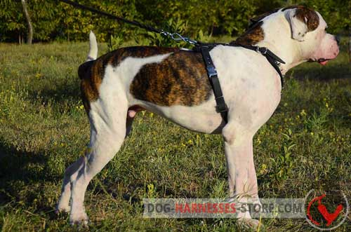 Walking leather American Bulldog harness with wide straps