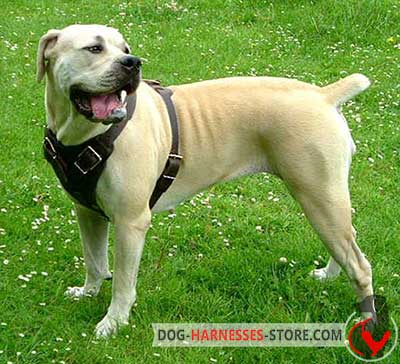Leather African Boerboel Mastiff Dog Harness with protective plate