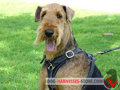 Non-restrictive leather harness for Airedale Terrier walking