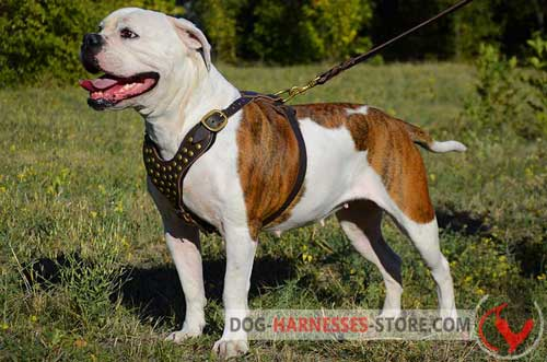 Snugly fitted American Bulldog walking leather harness