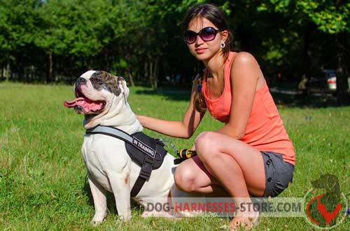 Non-stretching nylon harness for American Bulldog