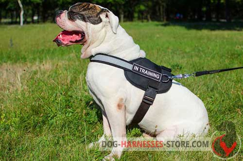 Visible American Bulldog harness with reflective trim