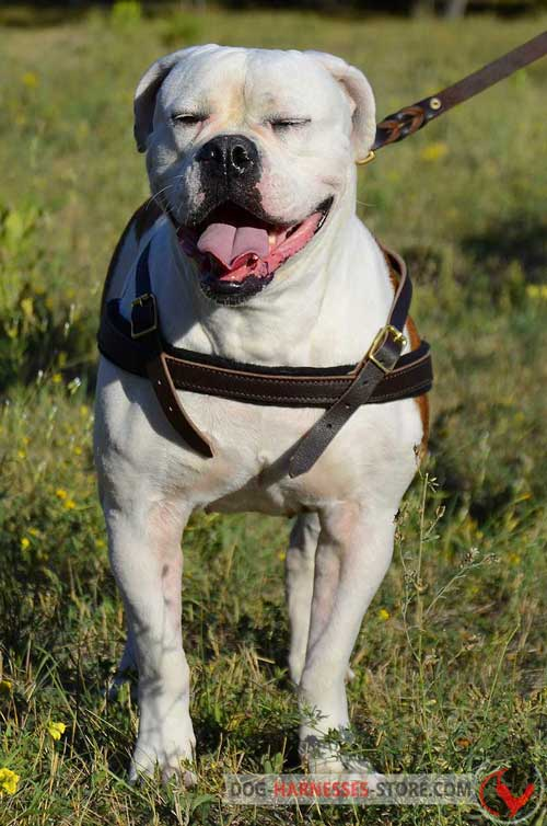 American Bulldog leather  harness for daily walking
